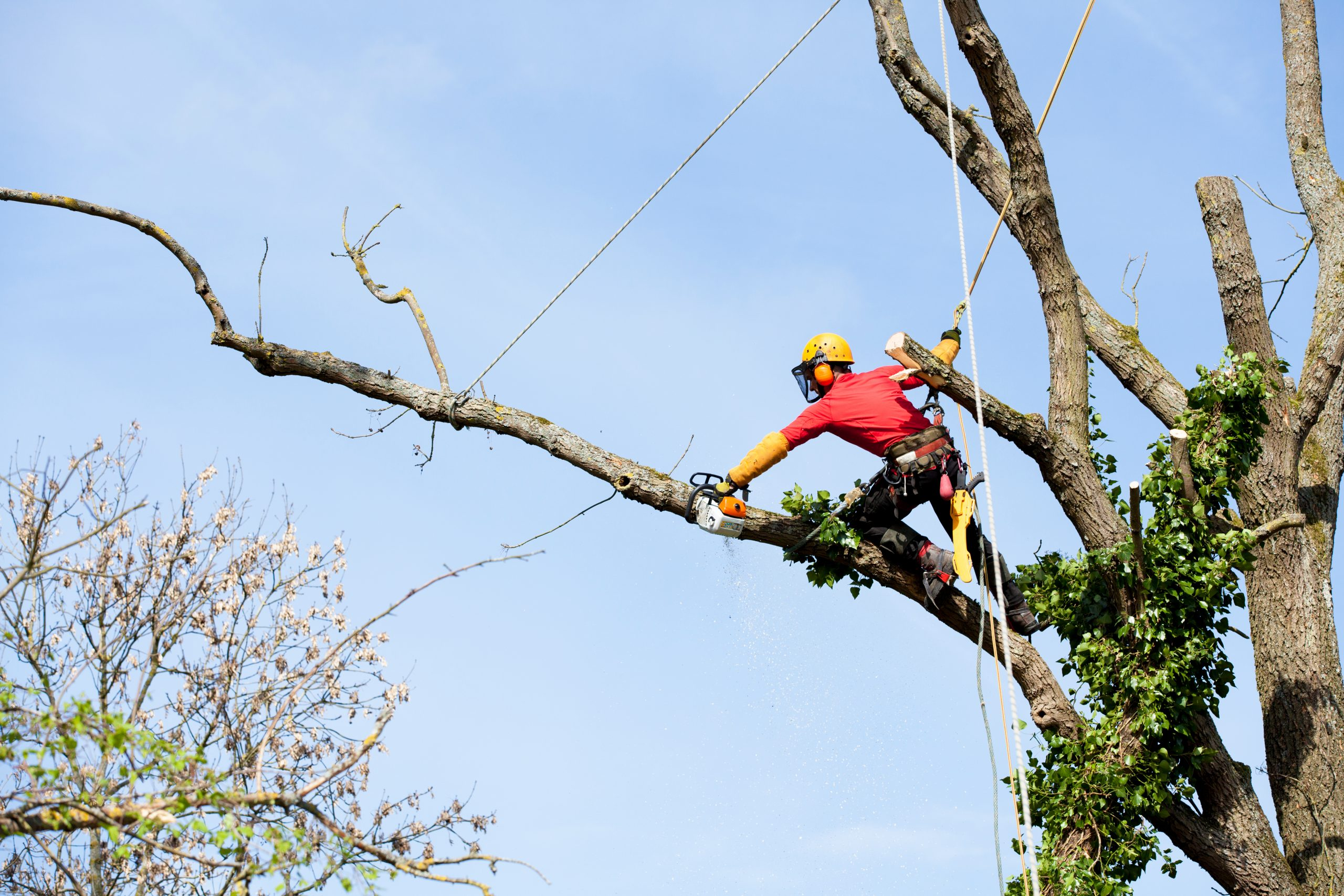 Tree service worker reaching out on a single branch