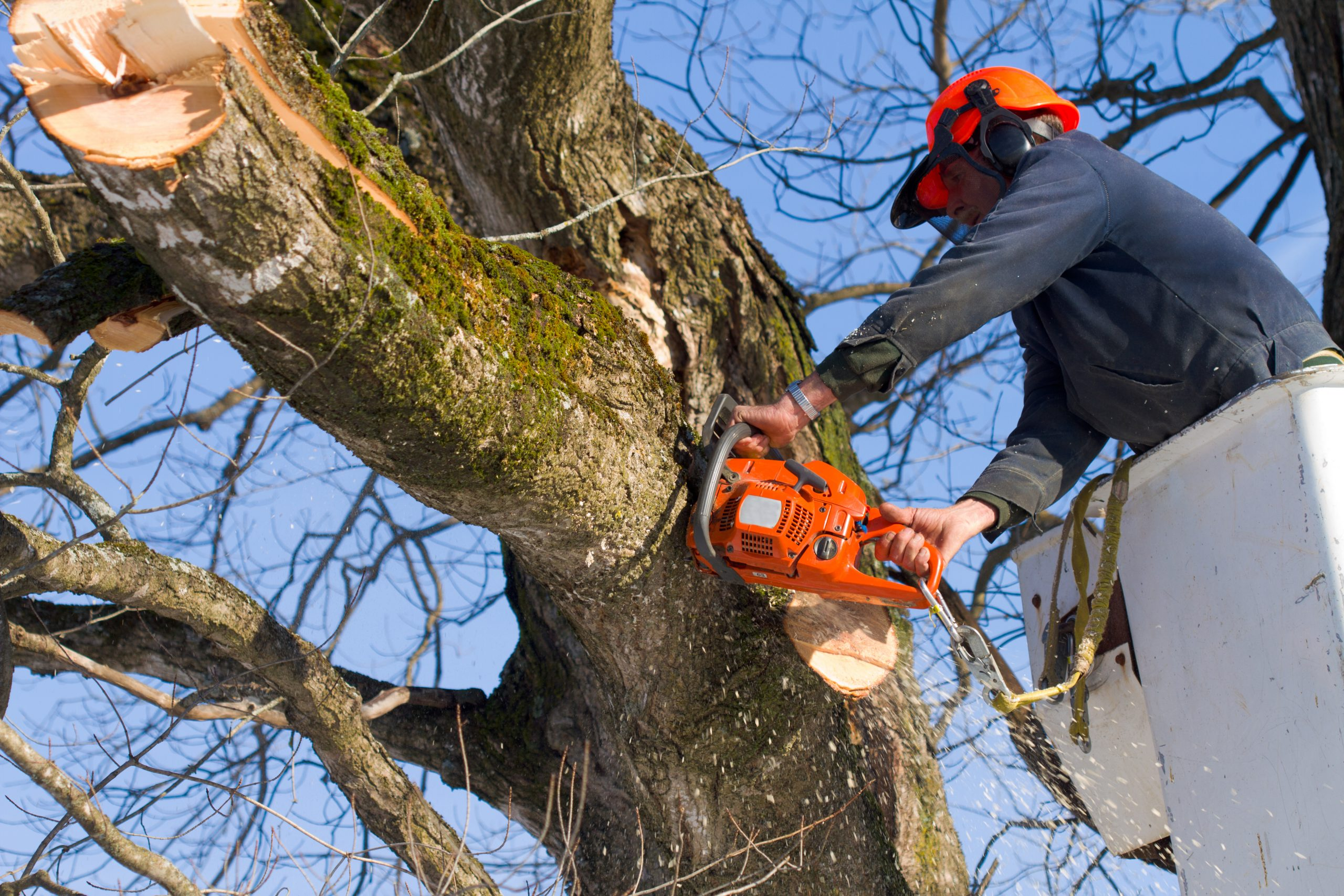 Tree cutter using a chainsaw to remove a branch