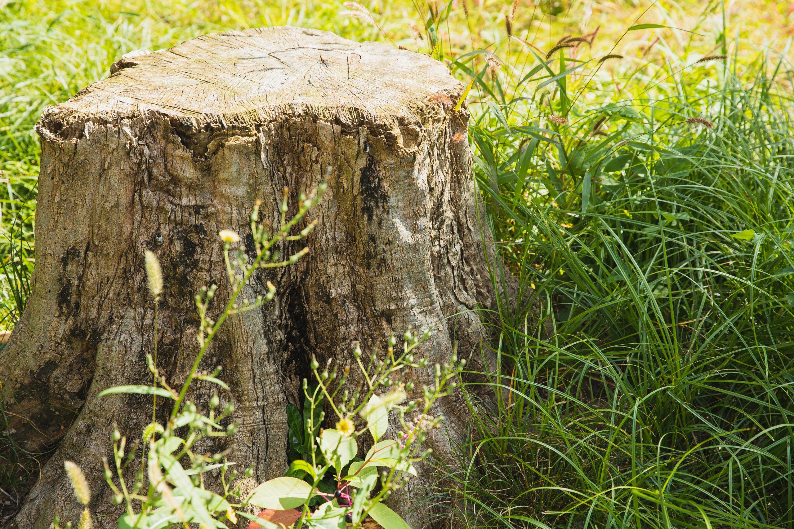 tree stump in a field