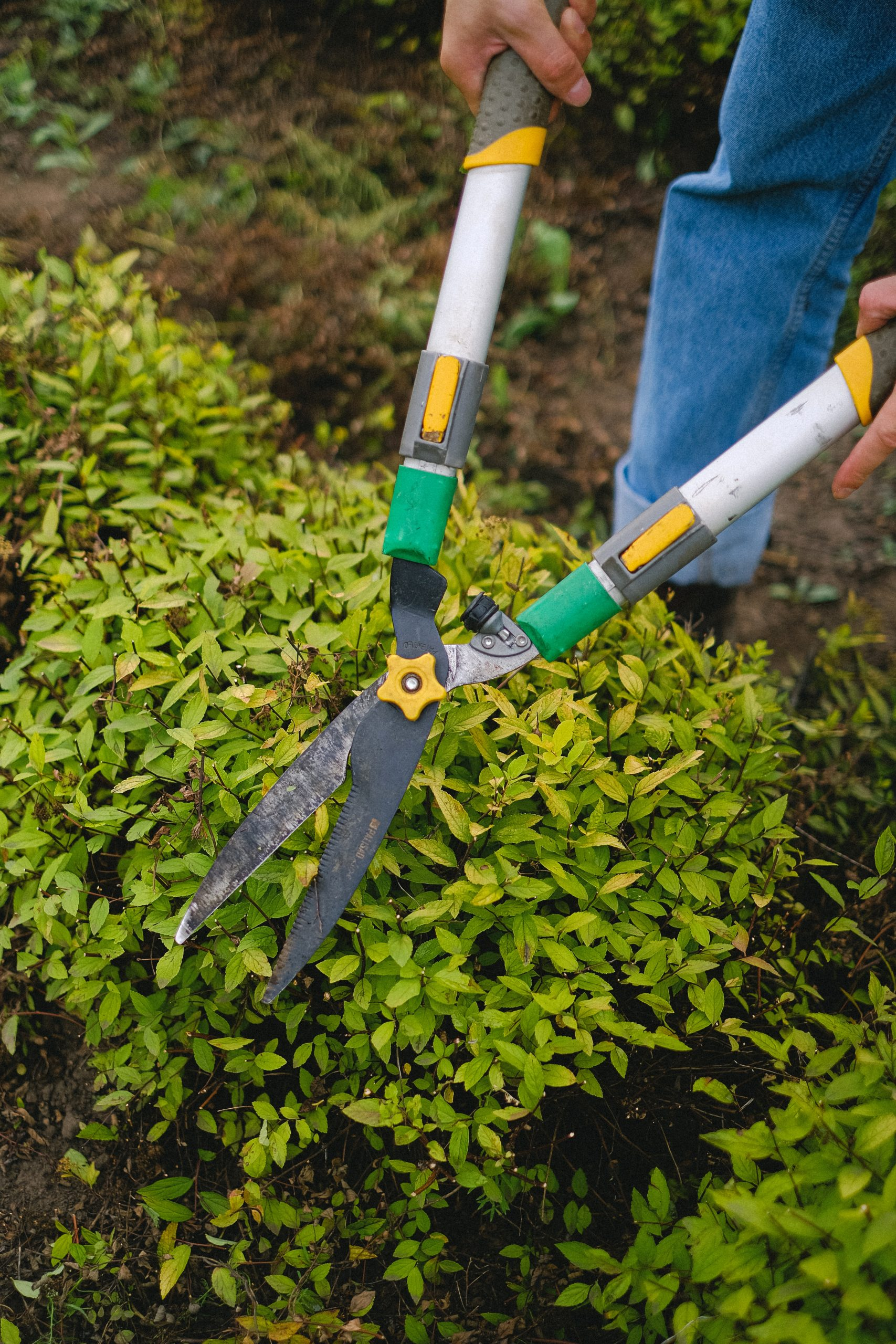 Person using pruning shears to trim a hedge
